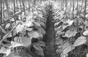 Betel-Leaf-farming2