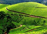 kerala-munnar-tea-garden