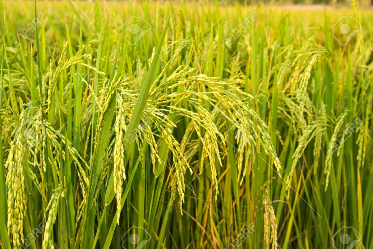 9398506-rice-plant-in-rice-field-Stock-Photo-paddy