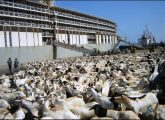 Udhiyah-Livestock-for-Hajj_5