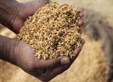 rice-seeds
