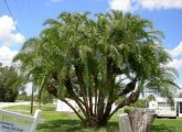 damas-tree-removal-only-600-per-tree_2