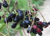 jamun-plants-and-fruits