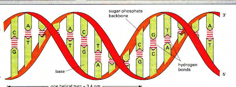 DNA_helix
